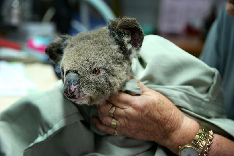 Geretteter Koala Australien Buschbrand